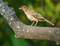 Clay-colored robin or thrush, Turdus grayi, the national bird of Costa Rica. Hotel Bougainvillea, San Jose, Costa Rica