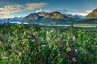 Summer landscape of Sitka Rose bushes with Chugach Mountains and Matanuska Glacier in Glacier View Area of Matanuska Valley, Southcentral, Alaska                          Photo by Jeff Schultz/SchultzPhoto.com  (C) 2018     ALL RIGHTS RESERVED