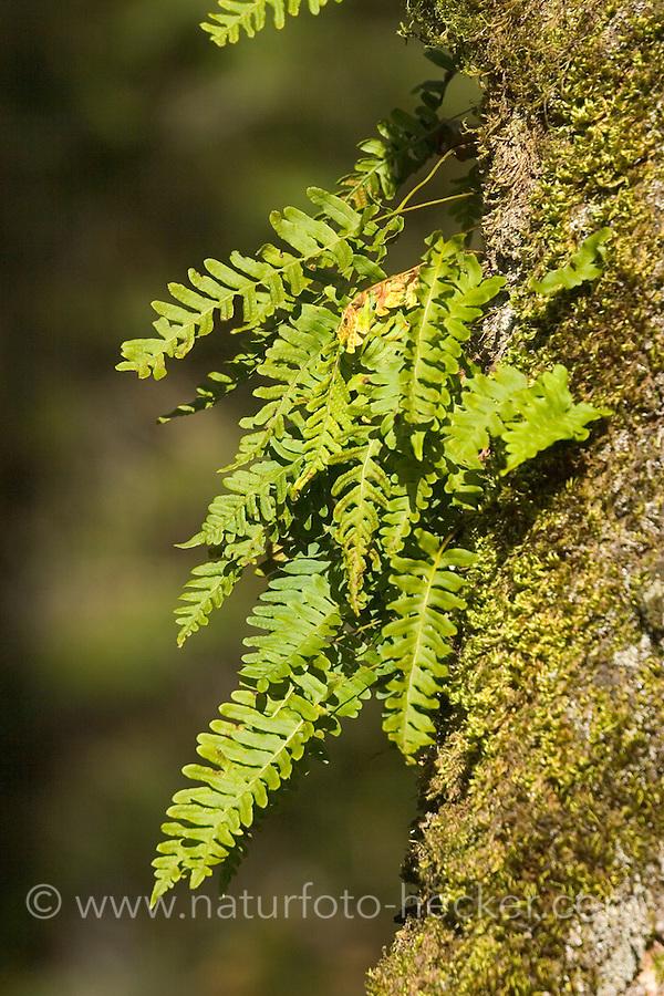 Gewöhnlicher Tüpfelfarn, Engelsüß, Engelsüss, Polypodium vulgare, common polypody