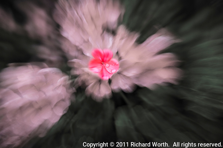 An abstract of geraniums after a rainshower.