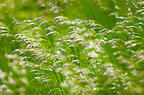Grass Fields of Roan Mountain, clear and glittered grass looks amazing