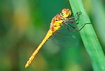 Sympetrum striolatum dragonfly