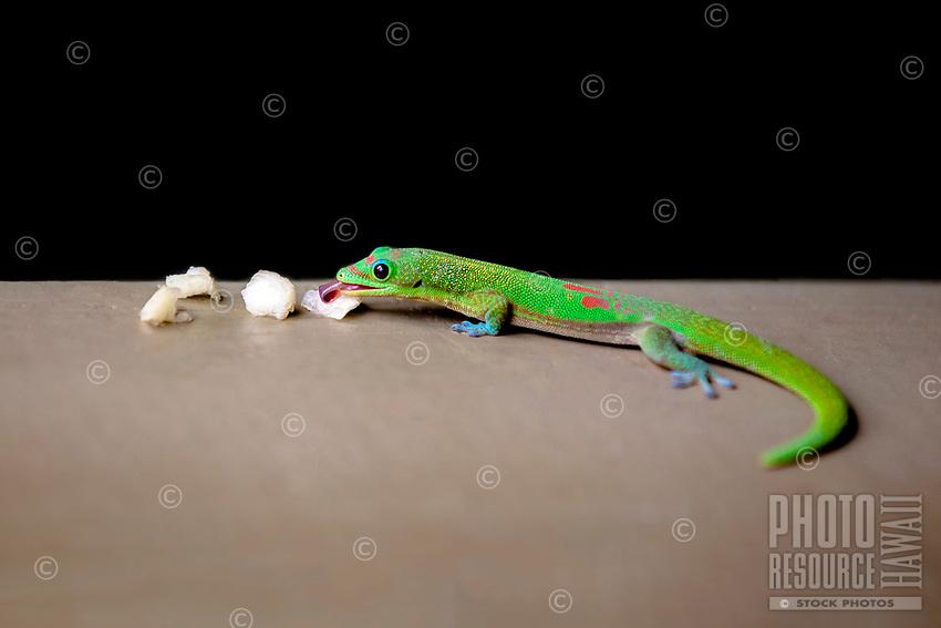 A Madagascar Gold Dust Day Gecko enjoys a piece of fruit, O'ahu.