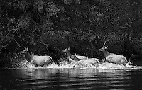 Elk splash through the Snake River in the Grand Tetons.<br /> <br /> This image is also available in color.