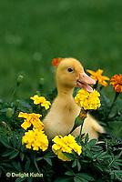 DG20-040z  Pekin Duck - duckling