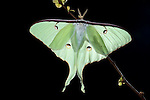 American Moon Moth,  Actias luna, USA, backlight on shrub branch