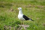 Great Black Backed Gull, Larus marinus, Kangasala, Finland, standing on grass at edge of small lake