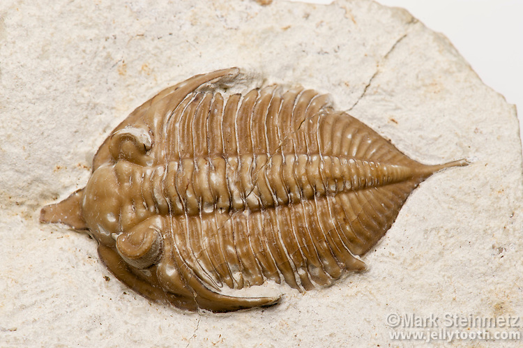 Trilobite fossil (Huntonia lingulifer aka Huntoniatonia lingulifer). Lower Devonian Haragan Formation. Coal County, Oklahoma, USA.