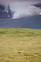 Brown bear on cape douglas, glacier in the aleutian range in the distance, Katmai National Park, Alaska Peninsula, southwest Alaska.