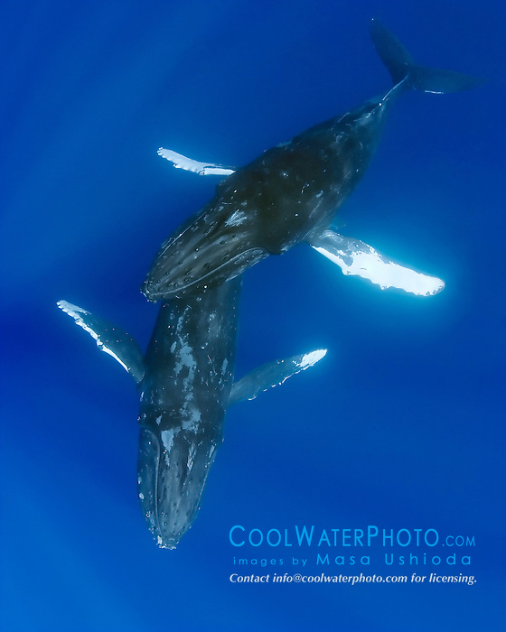 A courting pair of humpback whales, Megaptera novaeangliae, male humpback whale gently gliding over female, Hawaii, USA, Pacific Ocean