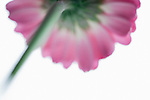 Gerbera flower study abstract