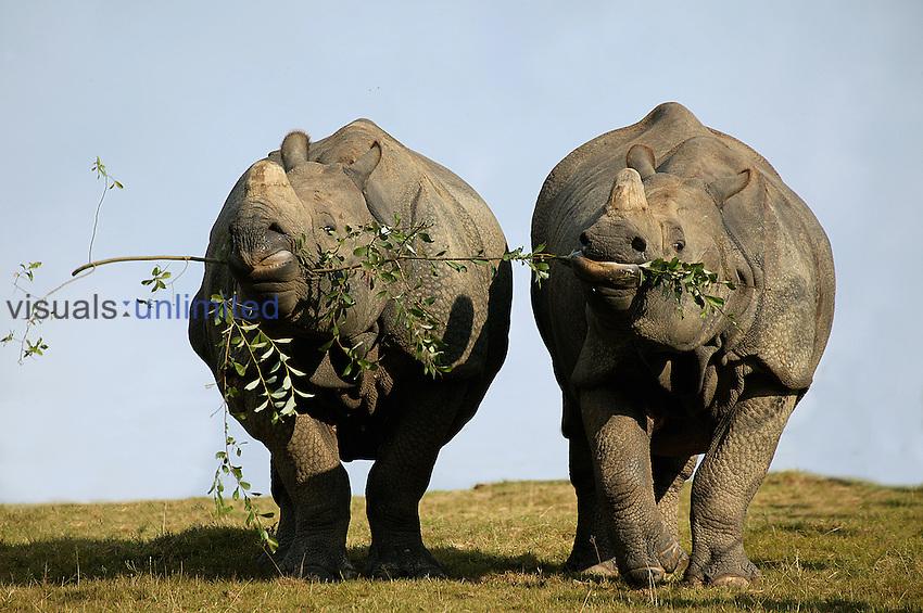 Indian Rhinoceros (Rhinoceros unicornis) pair feeding on the same branch.
