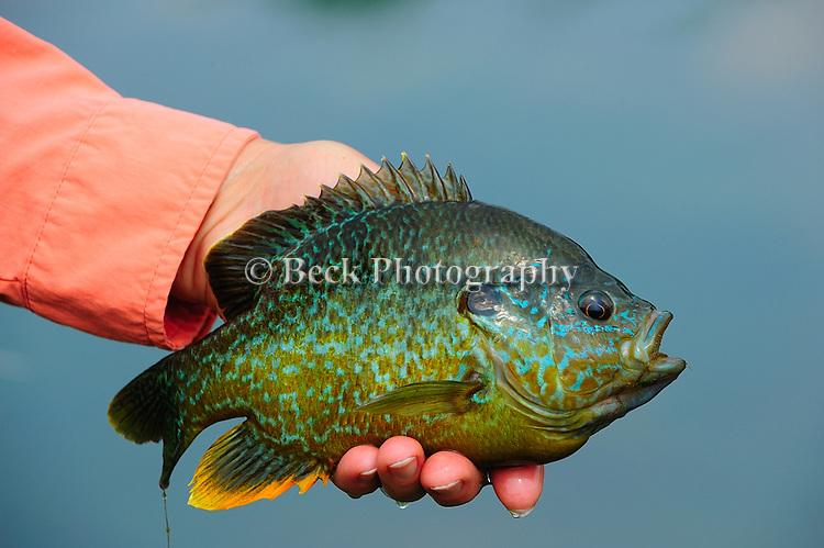 BLUEGILL HANDHELD PAN FISH