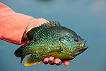 BLUEGILL HANDHELD PAN FISH