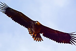 White Tailed Sea Eagles & Birds