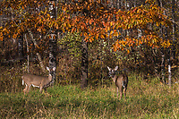 White-tailed doe and fawn look up from feeding in a northern Wisconsin meadow.