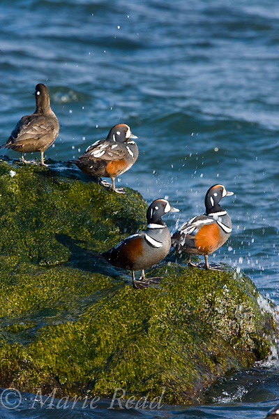 Harlequin Ducks (Histrionicus histrionicus), three males and female perched on a rock, Barnegat Inlet, New Jersey, USA