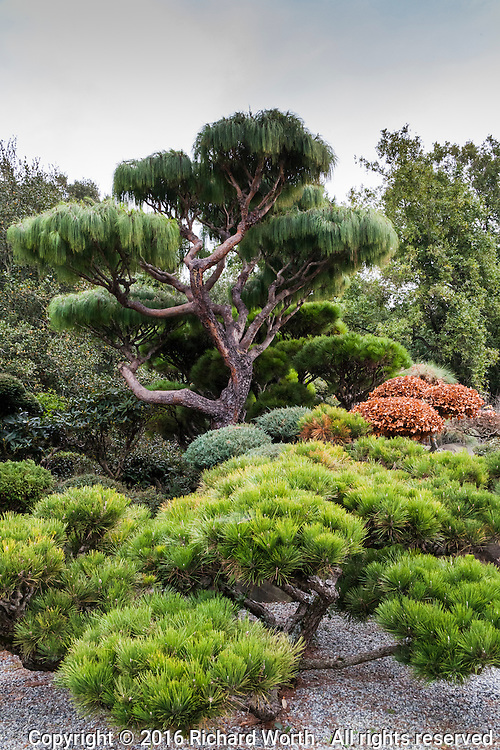 Trees, sculpted with care, at the Japanese Garden in Castro Valley, California
