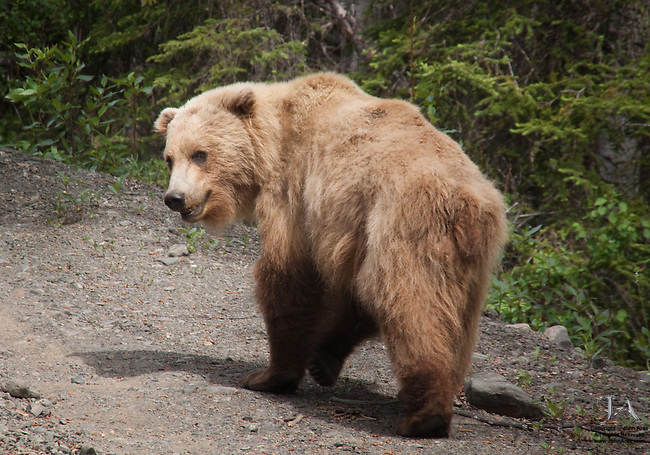 Grizzly bear cub walking on road near Anchnorage, Alaska