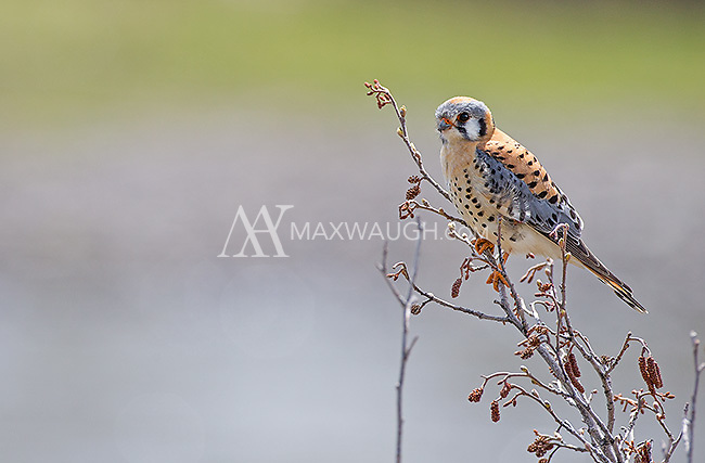 A male American kestrel perches near the Lamar River.