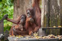 Orangutans, Pongo pygmaeus, with baby on feeding platform, Sepilok Orangutan Rehabilitation Centre, Sandakan, Sabah, Northeastern Borneo, Malaysia