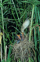 Marsh Warbler, Acrocephalus palustris, adult at nest with young, Dersbach, Switzerland, June1995