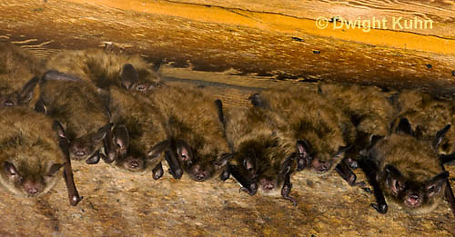 MA20-520z  Little Brown Bats, Myotis lucifugus