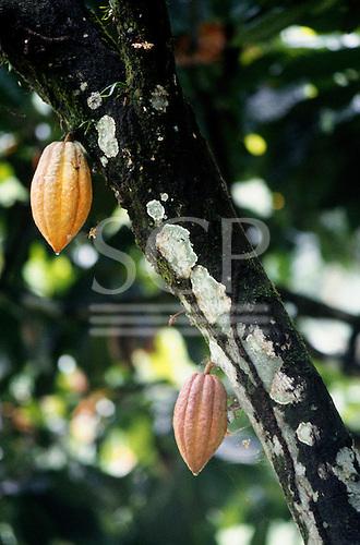 Bahia, Brazil. Cacau (Theobroma cacao) cocoa pods growing on the tree.