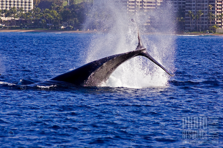 A humpback whale slaps her tail at Kaanapali Beach, Maui with hotels in the distance.