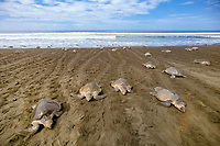 female olive ridley sea turtles, Lepidochelys olivacea, come and go from nesting beach during arribada ( mass nesting ) leaving distinctive tractor-like tracks in the sand, Ostional, Costa Rica, Pacific Ocean