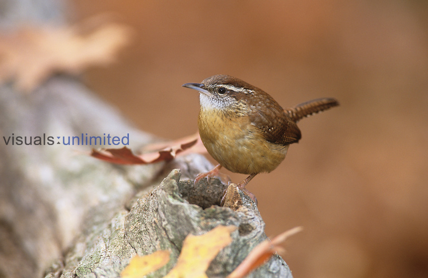 Carolina Wren (Thryothorus ludovicianus), Eastern North America.