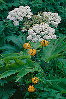 Tiger Lily and cow-parsnip<br />