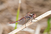 06653-00105 Variegated Meadowhawk (Sympetrum corruptum) male near wetland, Marion Co., IL
