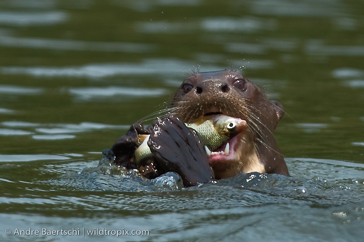 Giant Otter (Pteronura brasiliensis) eating a fish in an oxbow lake, lowland tropical rainforest, Manu National Park, Madre de Dios, Peru.