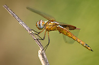 388550013 a wild juvenile male red saddlebags tramea onusta perches on a branch at santa ana national wildlife refuge in the lower rio grande valley in south texas