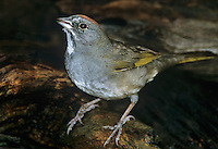 582210001 a wild green-tailed towhee pipilo chlorurus drinks from a small pond in the rio grande valley of south texas in the united states