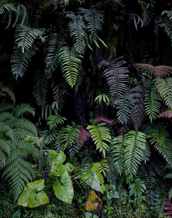 Wall of ferns in Manu National Park, cloud forest, Amazon region, PERU, South America