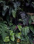 Wall of ferns in Manu National Park, cloud forest, Amazon region, PERU, South America