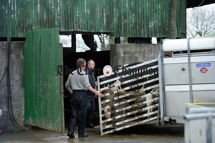 Cattle are moves from sheds in Springfield, Clonlara as residents prepare for flooding due to water being released at the Parteen Weir. Photograph by John Kelly.