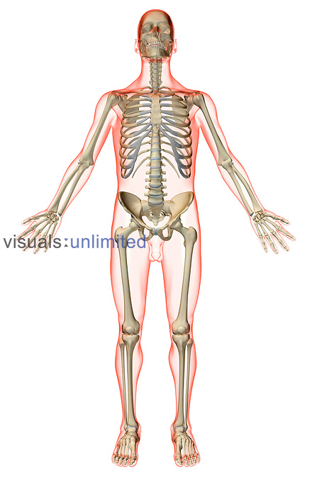 An anterior view of the skeletal system. The surface anatomy of the body is semi-transparent and tinted red. Royalty Free