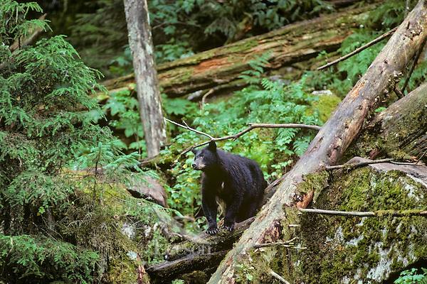 Black Bear in Northwest temperate forest.