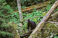 Black Bear in Northwest temperate forest.