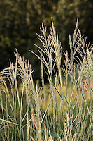 Panicum virgatum (switch grass) flowering in meadow