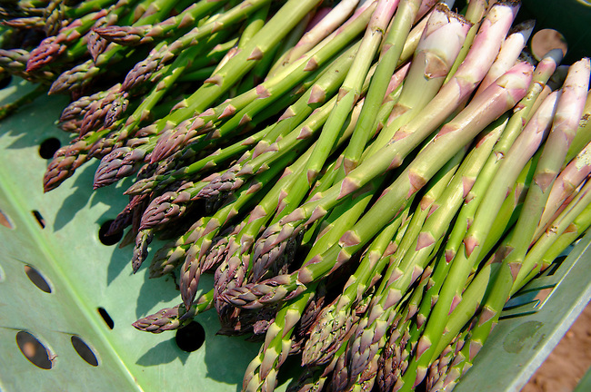 Fresh asparagus in the fields. Funky stock photos