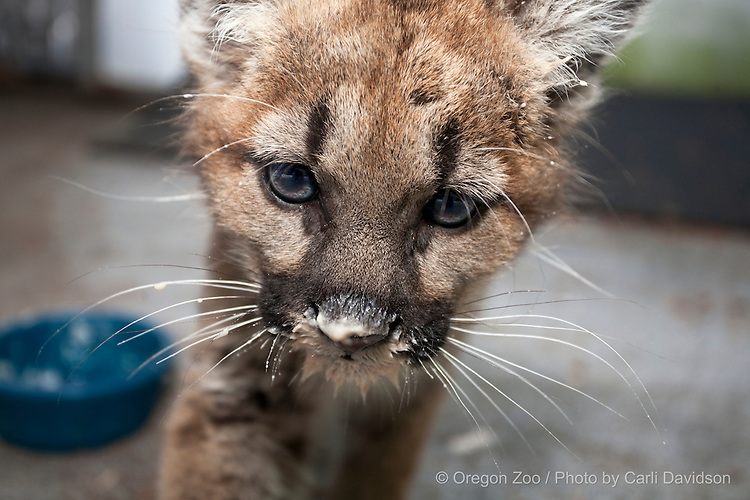 A rescued mountian lion cub eats at the Oregon Zoo.