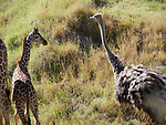 Ostrich edit by Frank Balthis