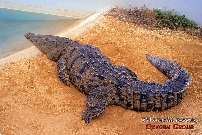 Crocodile, Cayman Turtle Farm