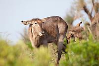 Waterbuck (obus ellipsiprymnus), Hluhluwe-Imfolozi, South Africa.
