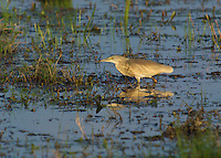 Water Bird stalking for food in the Okavango Delta, Botswana Africa.