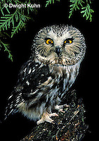 OW02-048z  Saw-whet owl - Aegolius acadicus